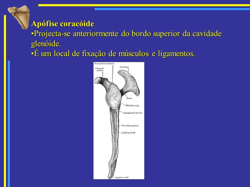 Apófise coracóide Projecta-se anteriormente do bordo superior da cavidade glenóide.
