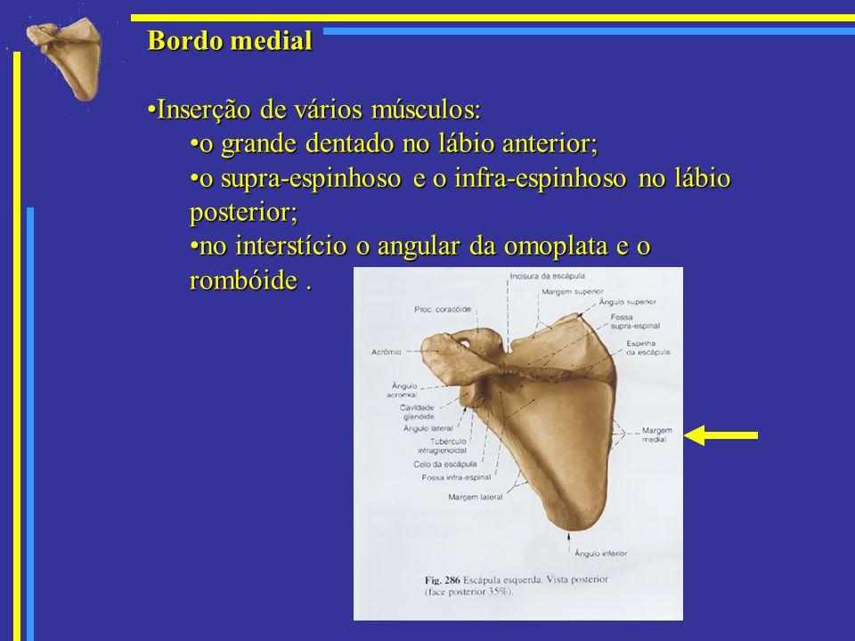 Bordo medial Inserção de vários músculos: o grande dentado no lábio anterior; o supra-espinhoso e o infra-espinhoso no lábio posterior;