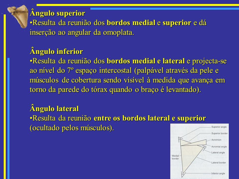 Ângulo superior Resulta da reunião dos bordos medial e superior e dá inserção ao angular da omoplata.