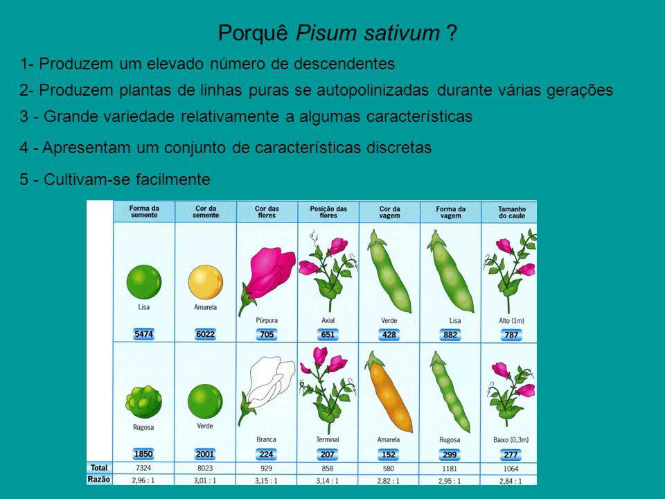 Porquê Pisum sativum 1- Produzem um elevado número de descendentes