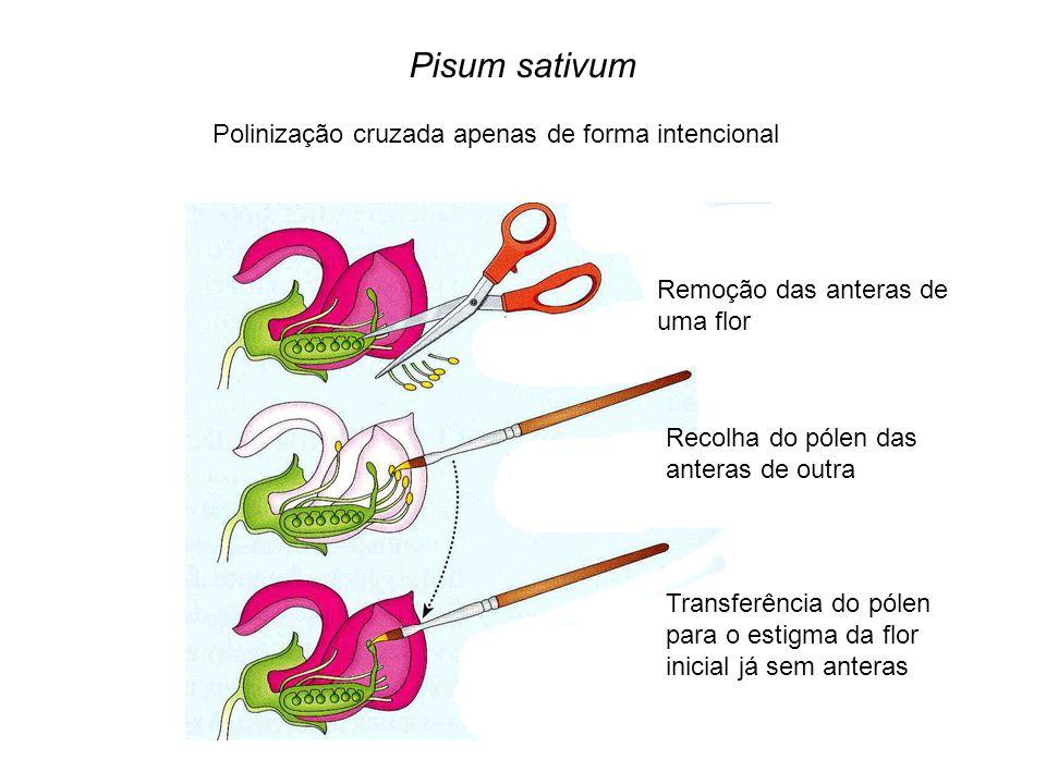 Pisum sativum Polinização cruzada apenas de forma intencional