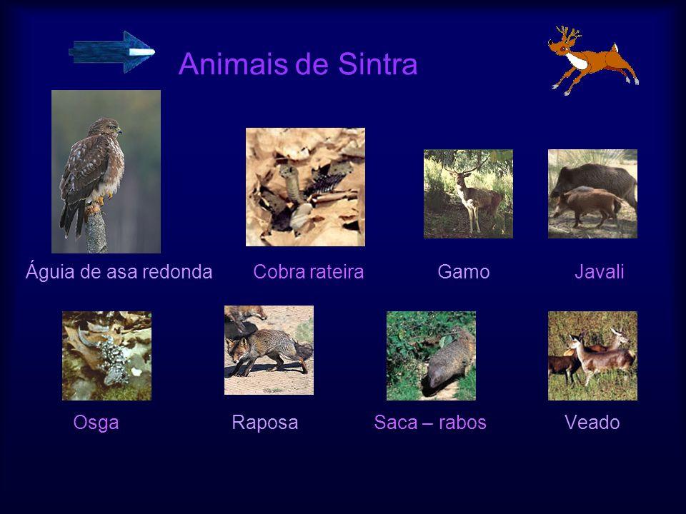 Animais de Sintra Águia de asa redonda Cobra rateira Gamo Javali