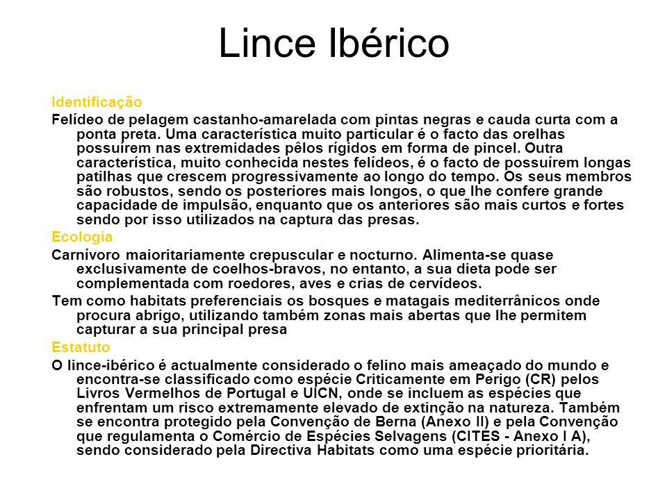Lince Ibérico Identificação