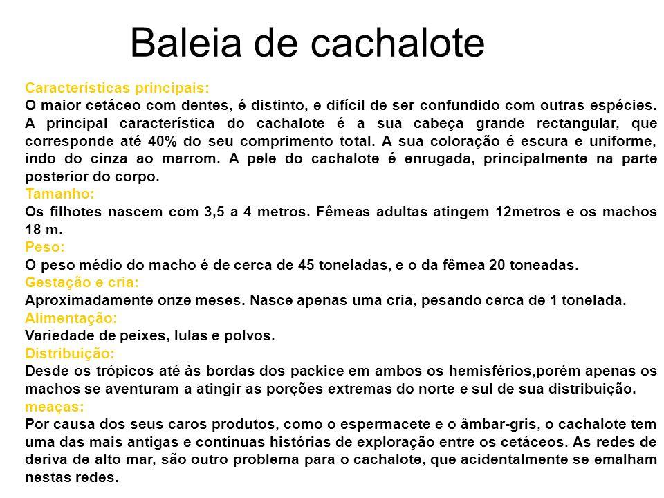 Baleia de cachalote Características principais: