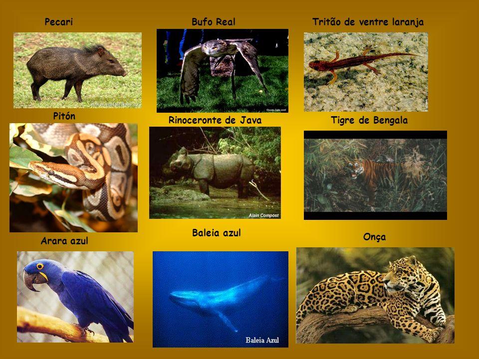 Pecari Bufo Real. Tritão de ventre laranja. Pitón. Rinoceronte de Java. Tigre de Bengala. Baleia azul.