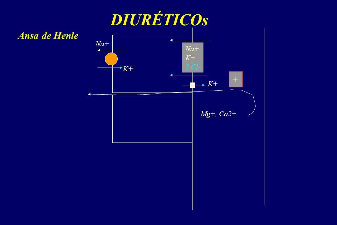 DIURÉTICOs Ansa de Henle Na+ Na+ K+ 2 Cl- K+ + K+ Mg+, Ca2+