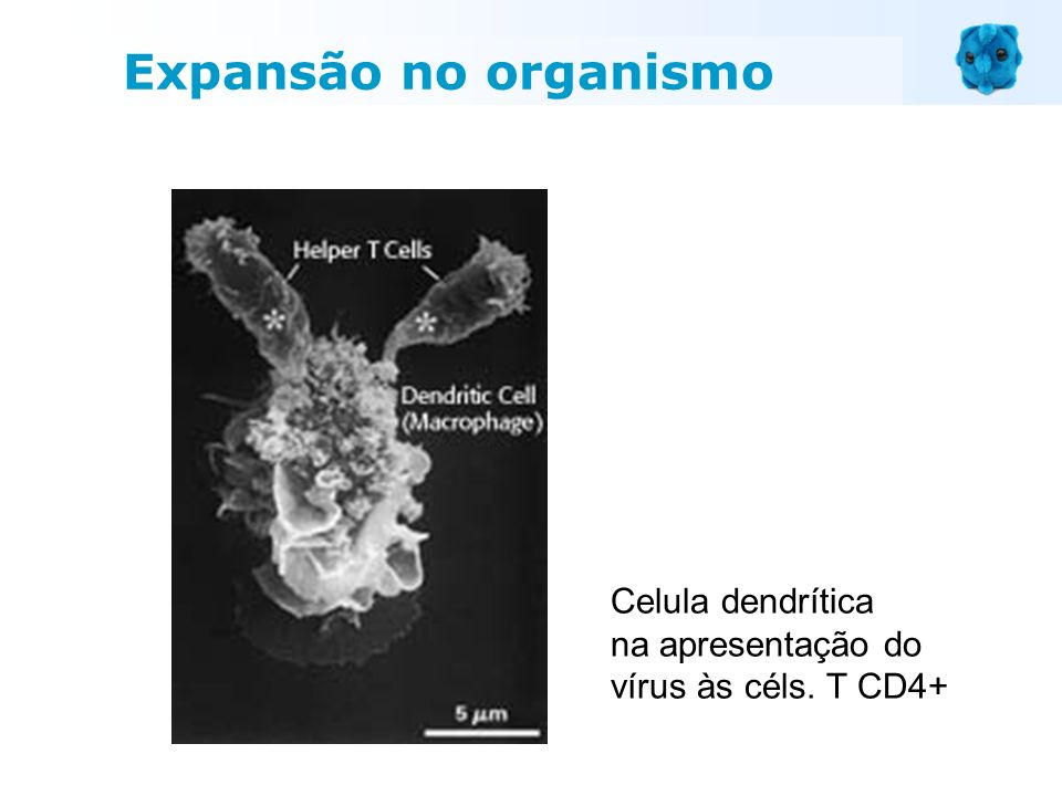Celula dendrítica na apresentação do vírus às céls. T CD4+