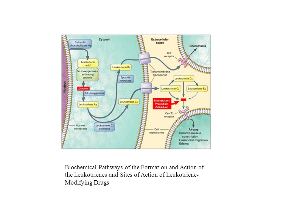 Biochemical Pathways of the Formation and Action of the Leukotrienes and Sites of Action of Leukotriene-Modifying Drugs