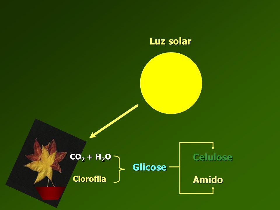 Luz solar CO2 + H2O Celulose Amido Glicose Clorofila