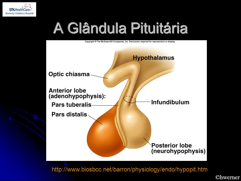 A Glândula Pituitária http://www.biosbcc.net/barron/physiology/endo/hypopit.htm