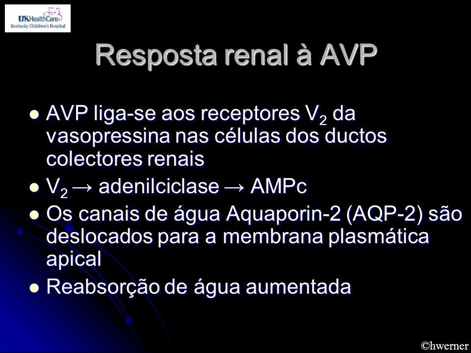 Resposta renal à AVP AVP liga-se aos receptores V2 da vasopressina nas células dos ductos colectores renais.