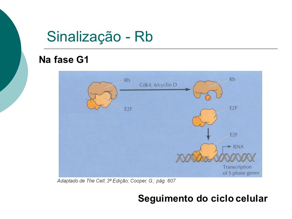Seguimento do ciclo celular