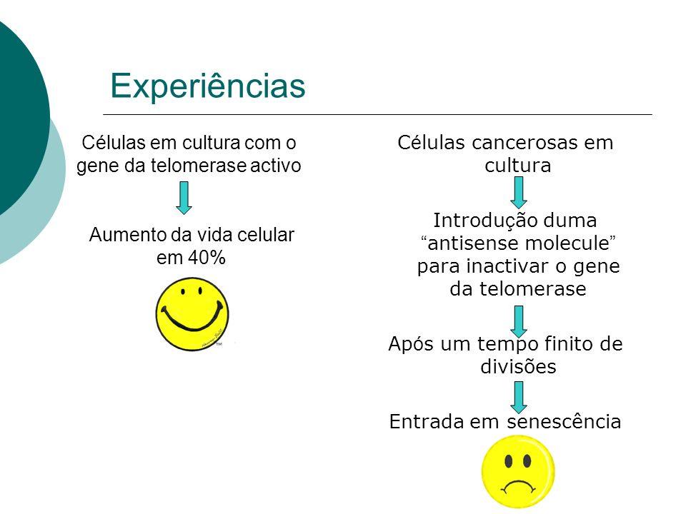 Experiências Células em cultura com o gene da telomerase activo