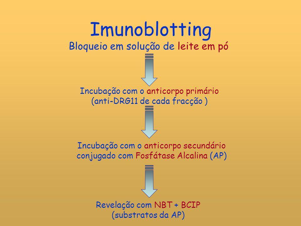 Imunoblotting Bloqueio em solução de leite em pó