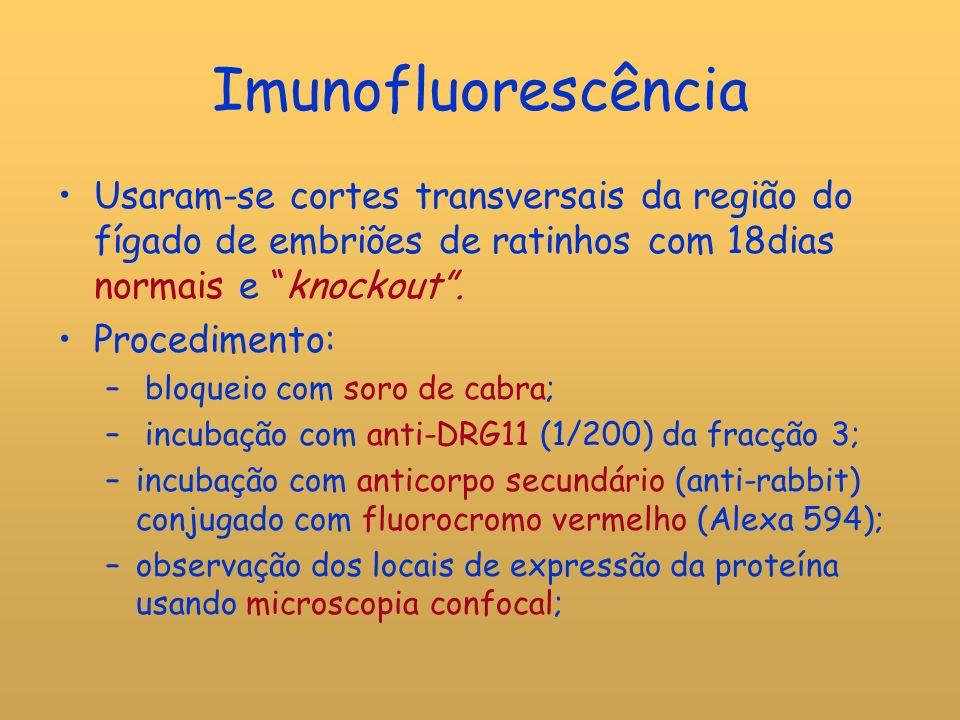 Imunofluorescência Usaram-se cortes transversais da região do fígado de embriões de ratinhos com 18dias normais e knockout .