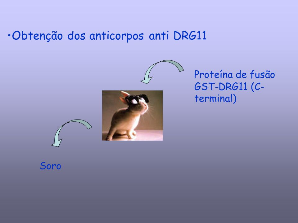Obtenção dos anticorpos anti DRG11