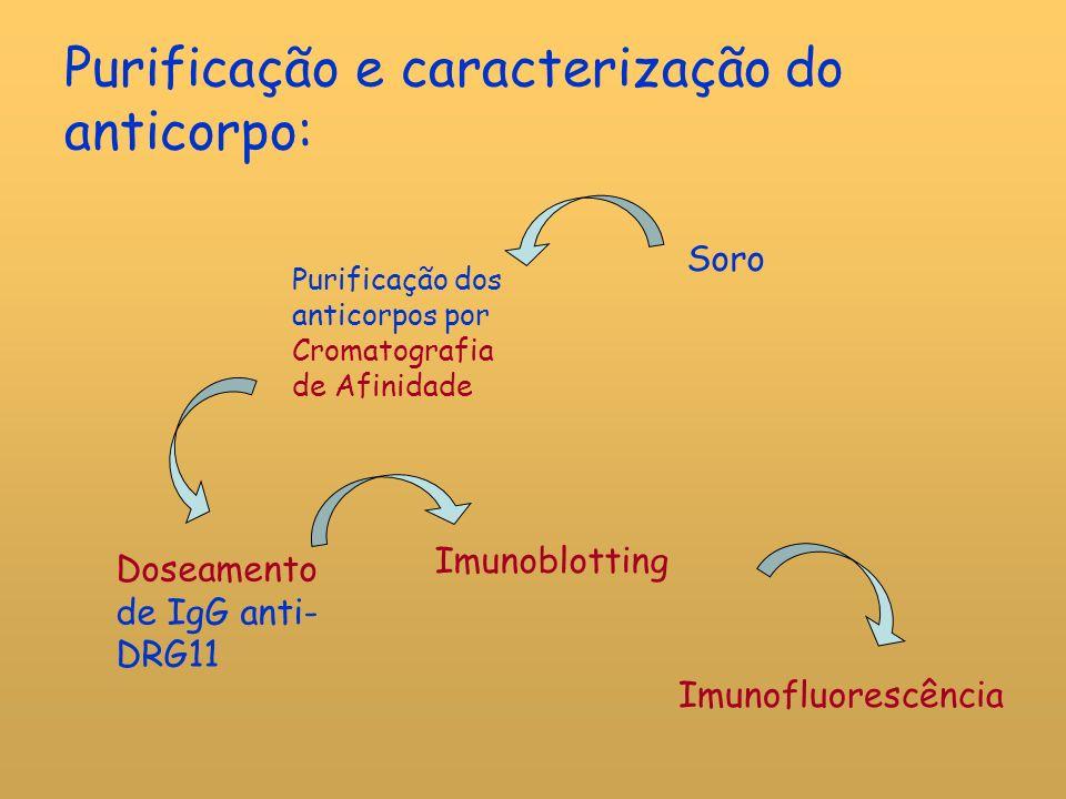 Purificação e caracterização do anticorpo: