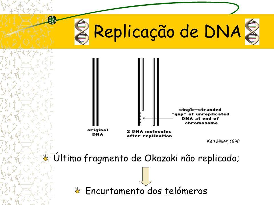 Replicação de DNA Último fragmento de Okazaki não replicado;