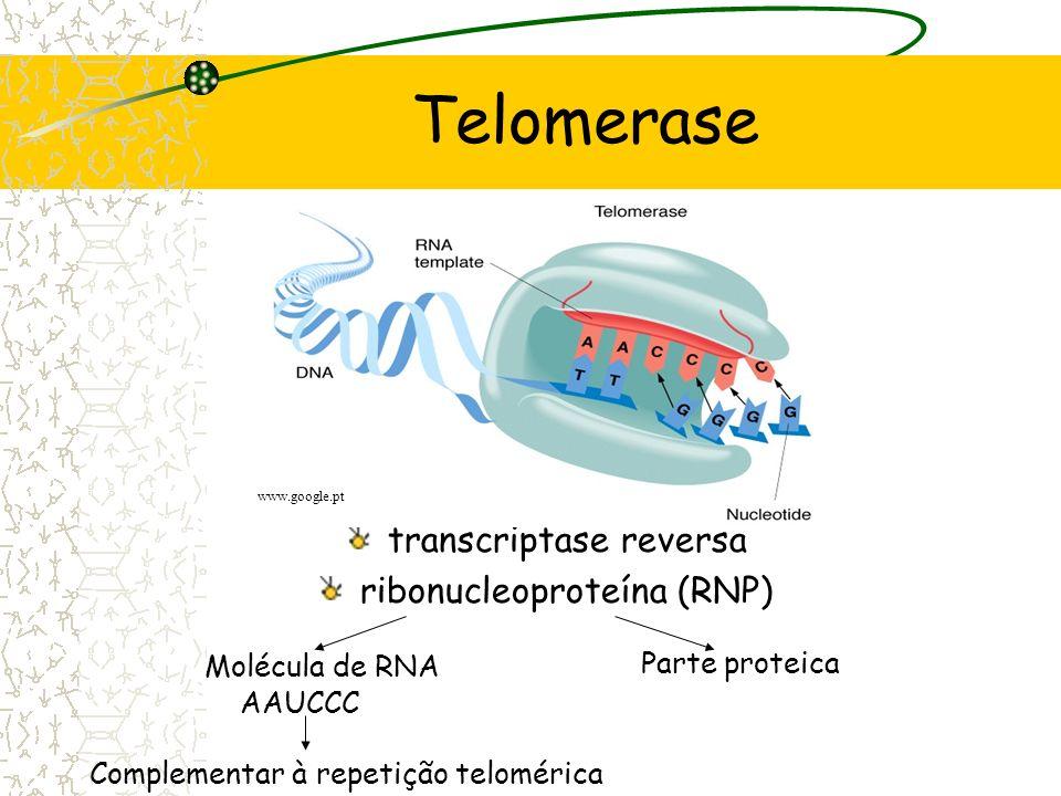Telomerase transcriptase reversa ribonucleoproteína (RNP)