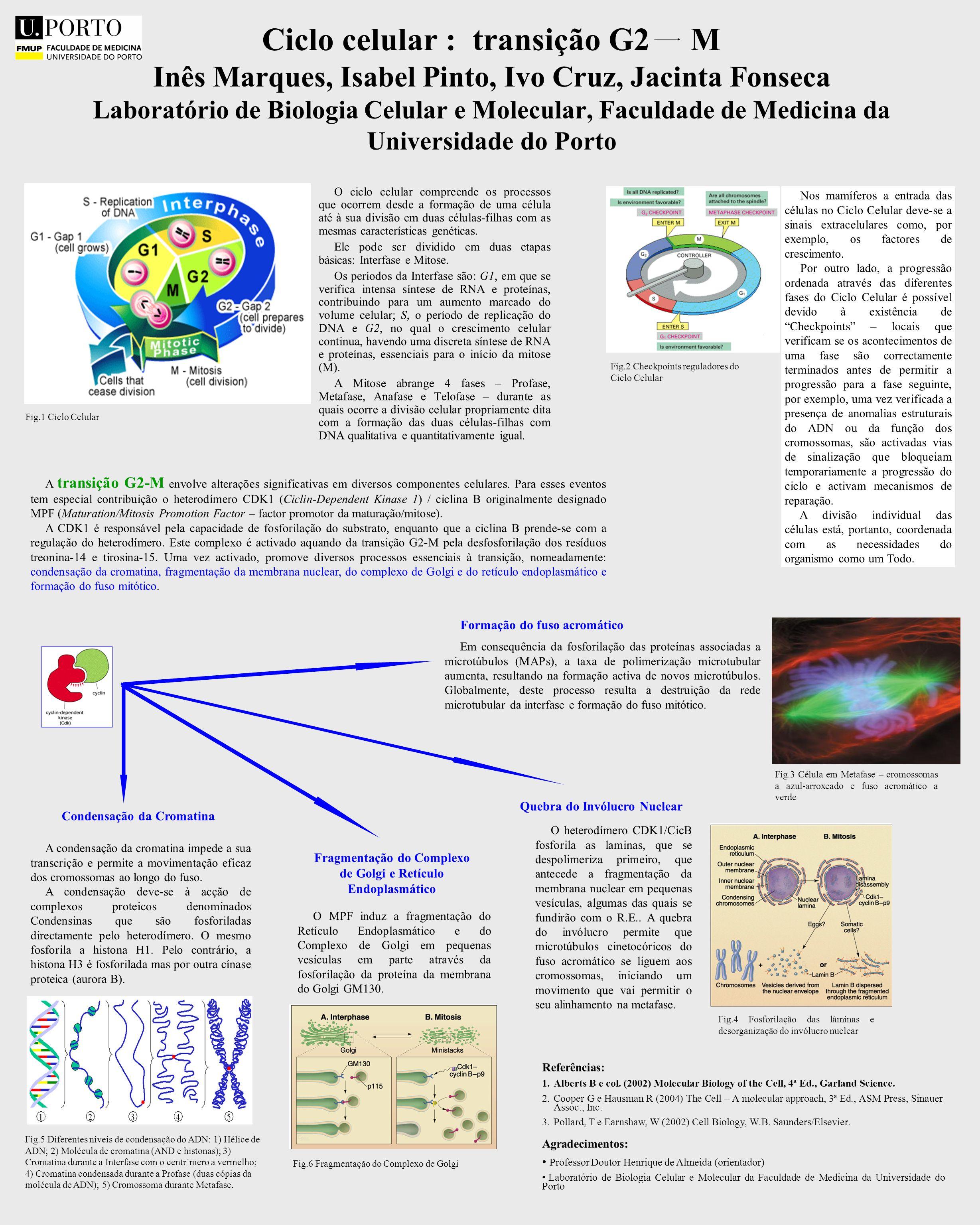 Ciclo celular : transição G2 M Inês Marques, Isabel Pinto, Ivo Cruz, Jacinta Fonseca Laboratório de Biologia Celular e Molecular, Faculdade de Medicina da Universidade do Porto