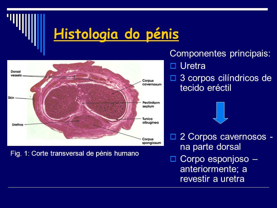 Histologia do pénis Componentes principais: Uretra