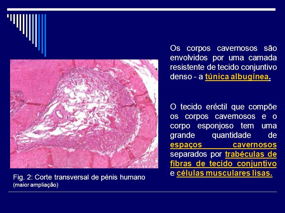 Os corpos cavernosos são envolvidos por uma camada resistente de tecido conjuntivo denso - a túnica albugínea.