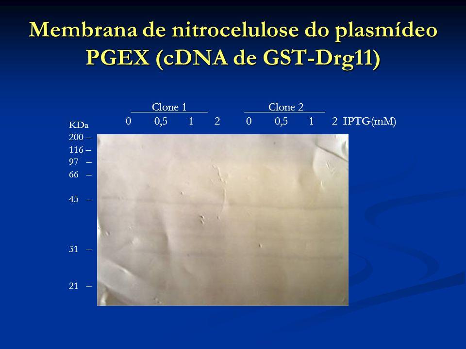 Membrana de nitrocelulose do plasmídeo PGEX (cDNA de GST-Drg11)
