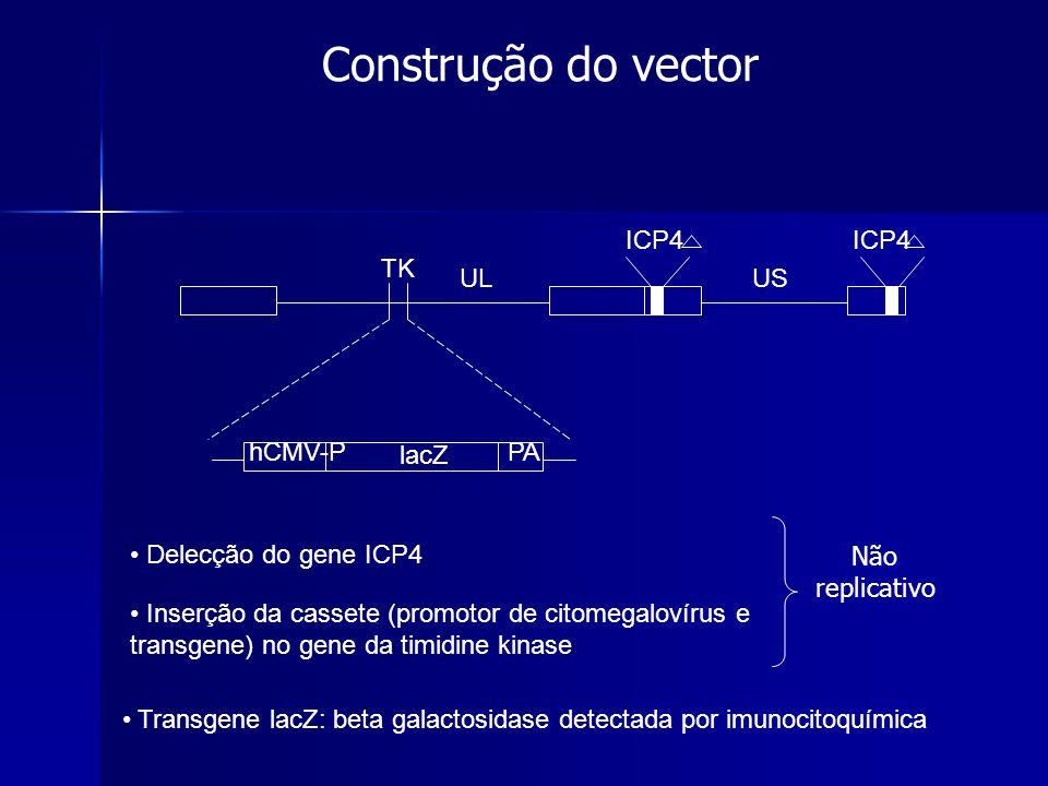 Construção do vector ICP4 hCMV-P PA lacZ TK UL US