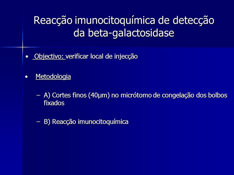 Reacção imunocitoquímica de detecção da beta-galactosidase