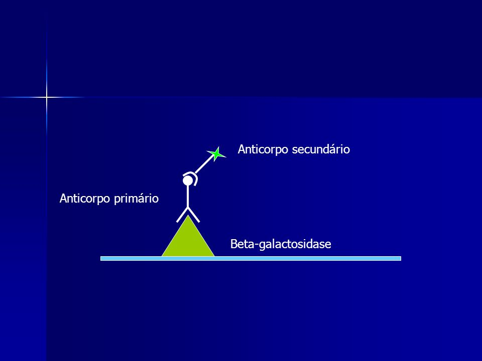 Anticorpo secundário Anticorpo primário Beta-galactosidase