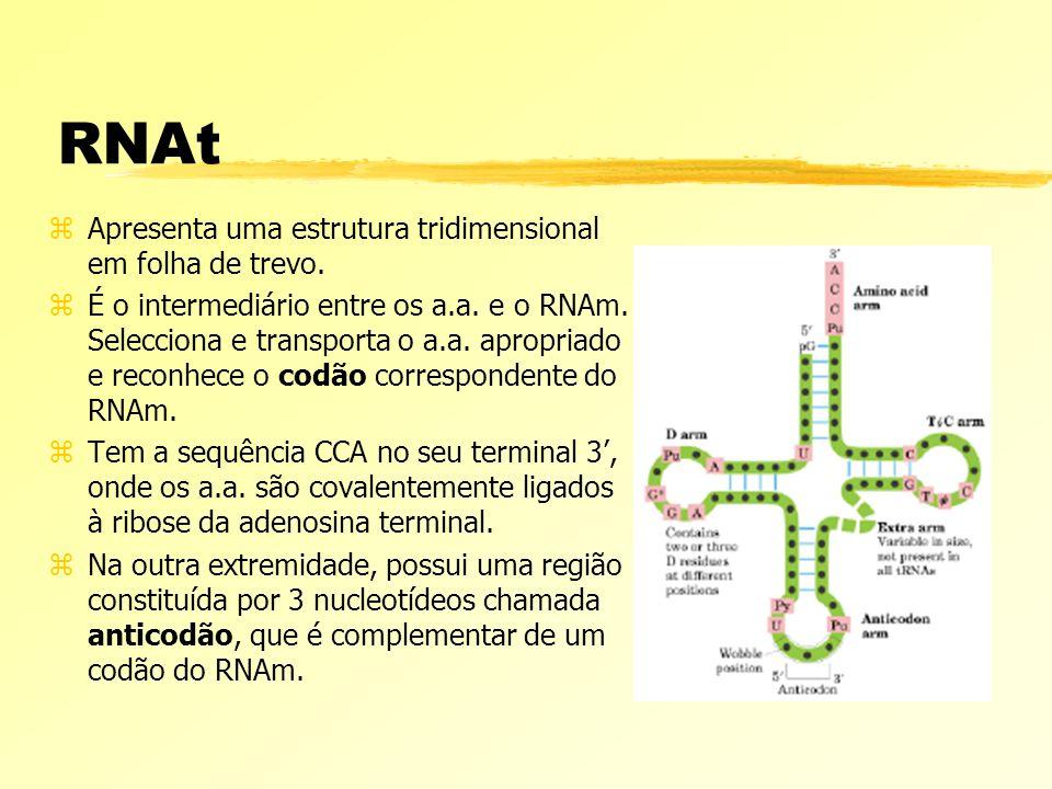 RNAt Apresenta uma estrutura tridimensional em folha de trevo.