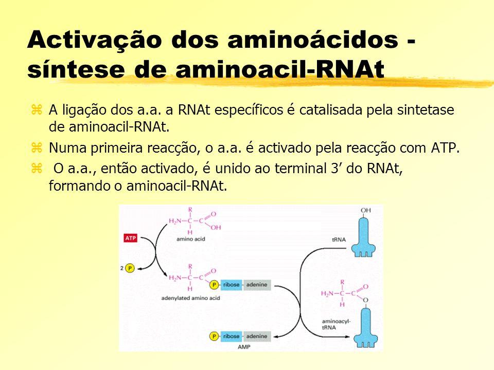 Activação dos aminoácidos - síntese de aminoacil-RNAt