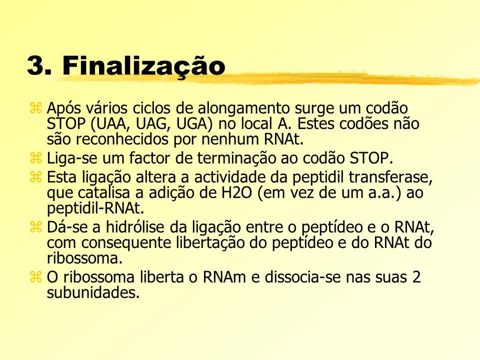 3. Finalização Após vários ciclos de alongamento surge um codão STOP (UAA, UAG, UGA) no local A. Estes codões não são reconhecidos por nenhum RNAt.
