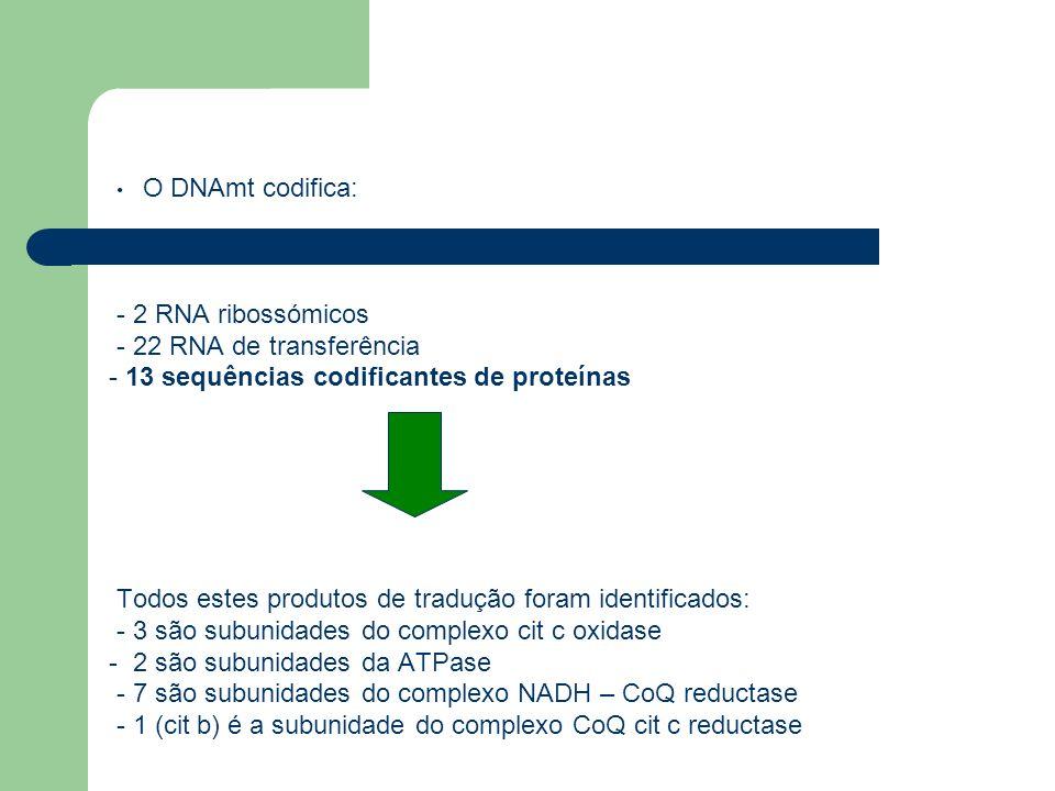 O DNAmt codifica: - 2 RNA ribossómicos. - 22 RNA de transferência. - 13 sequências codificantes de proteínas.