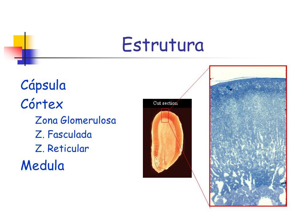 Estrutura Cápsula Córtex Medula Zona Glomerulosa Z. Fasculada