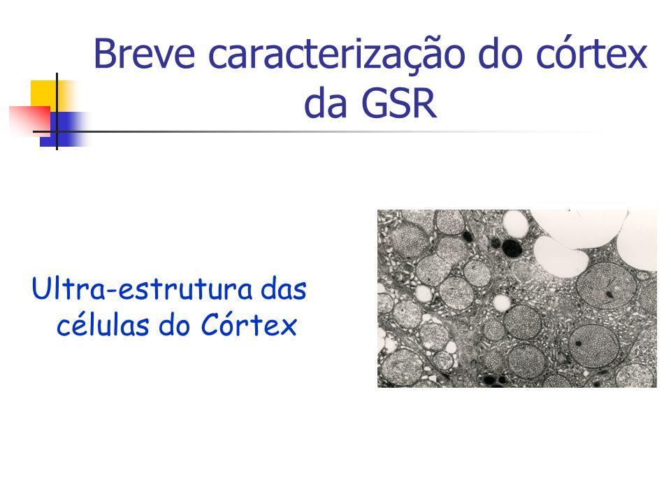Breve caracterização do córtex da GSR