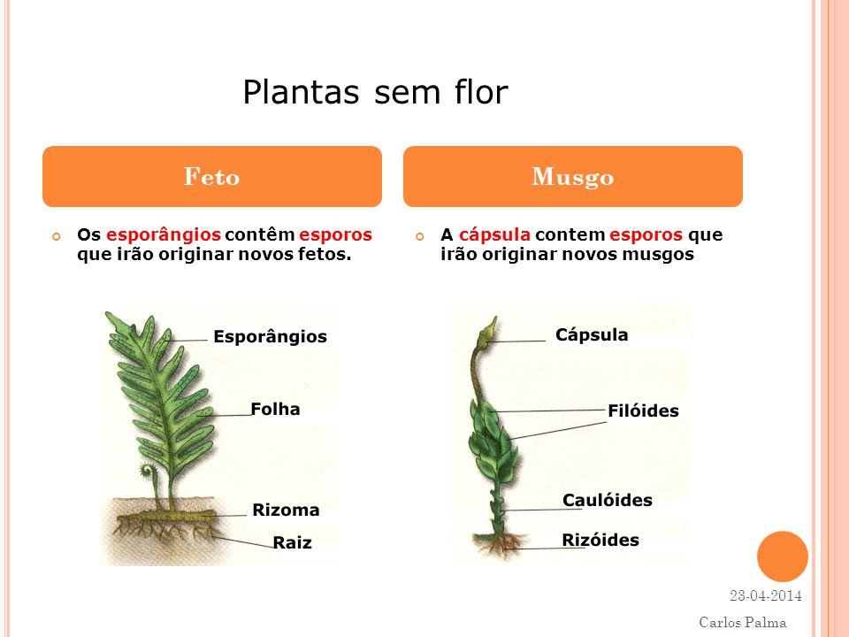 Plantas sem flor Feto Musgo