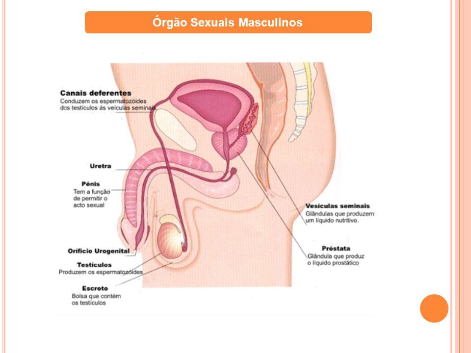Órgão Sexuais Masculinos