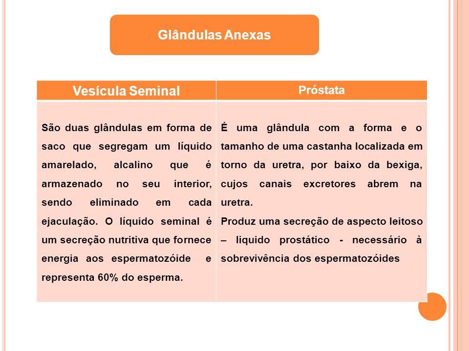 Glândulas Anexas Vesícula Seminal