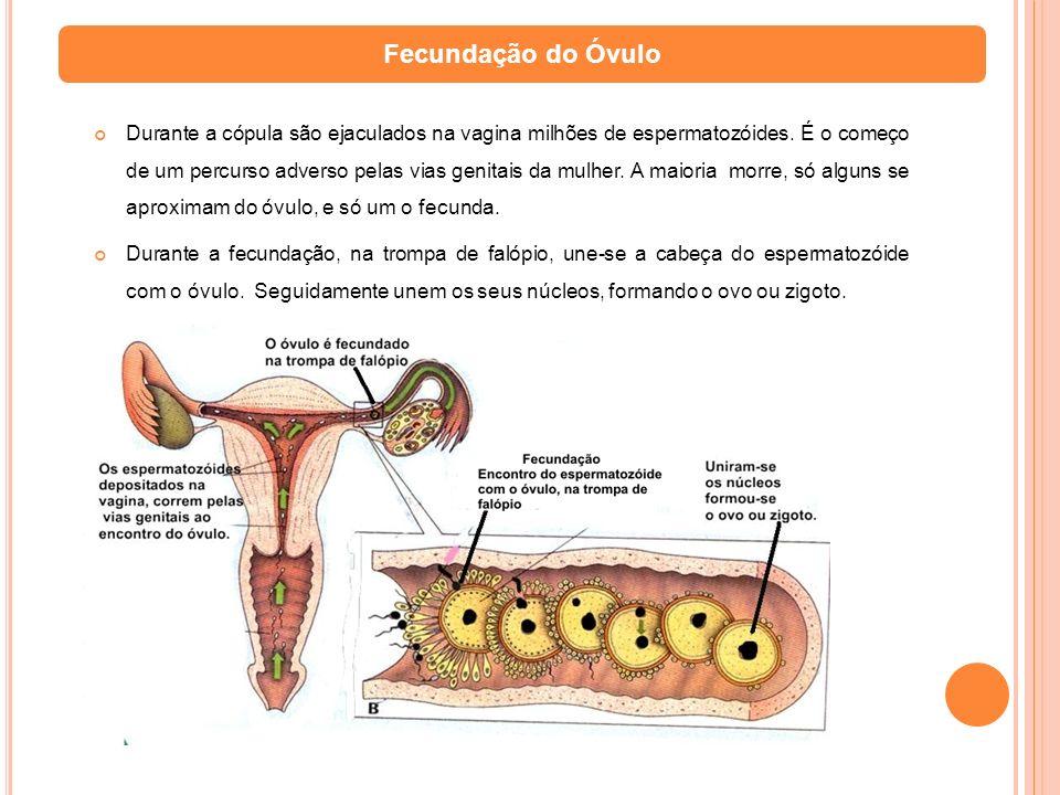 Fecundação do Óvulo