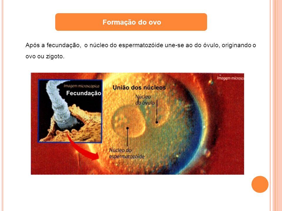 Formação do ovo Após a fecundação, o núcleo do espermatozóide une-se ao do óvulo, originando o ovo ou zigoto.