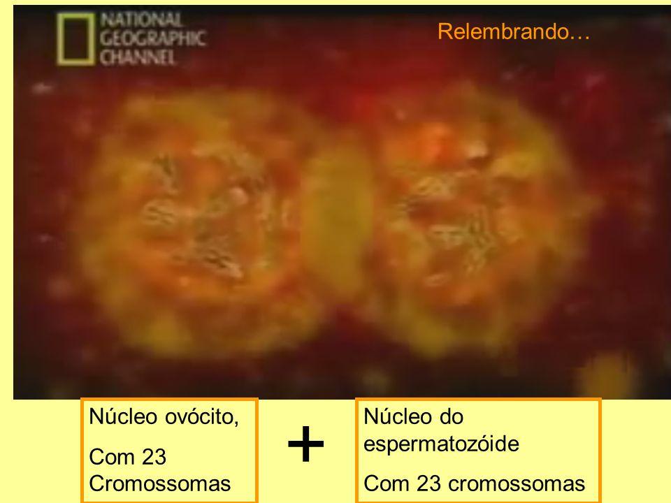 + Relembrando… Núcleo ovócito, Com 23 Cromossomas