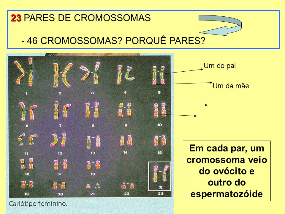 Em cada par, um cromossoma veio do ovócito e outro do espermatozóide