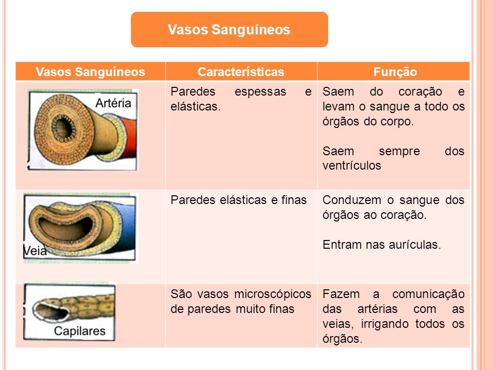 Vasos Sanguíneos Vasos Sanguíneos Características Função