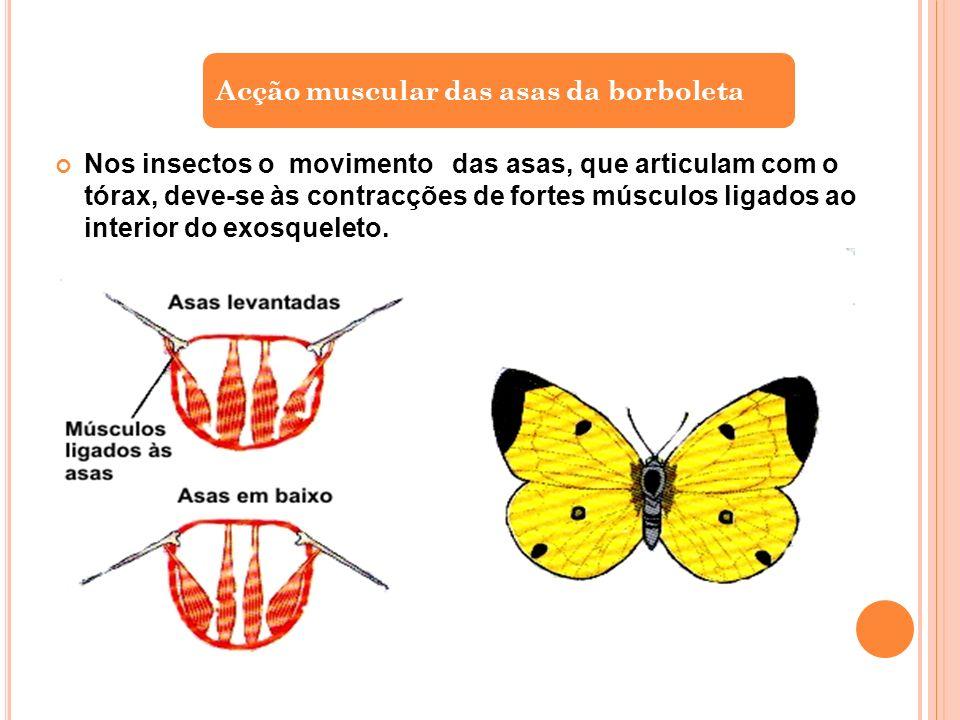 Acção muscular das asas da borboleta