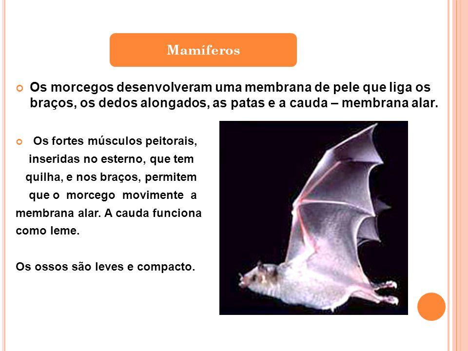 Mamíferos Os morcegos desenvolveram uma membrana de pele que liga os braços, os dedos alongados, as patas e a cauda – membrana alar.