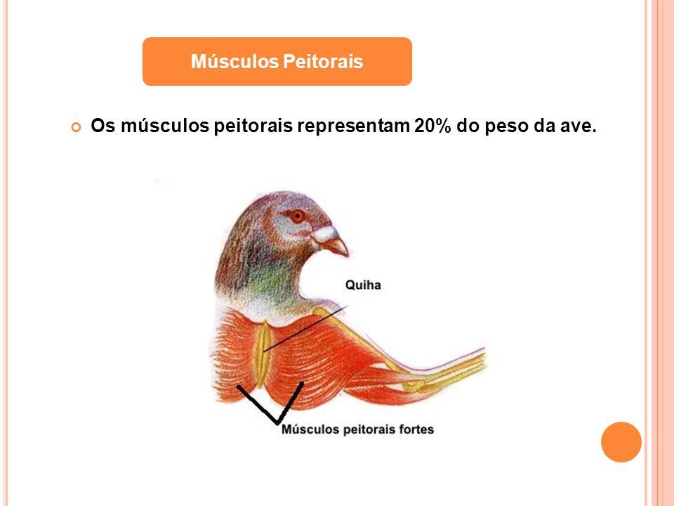 Músculos Peitorais Os músculos peitorais representam 20% do peso da ave.
