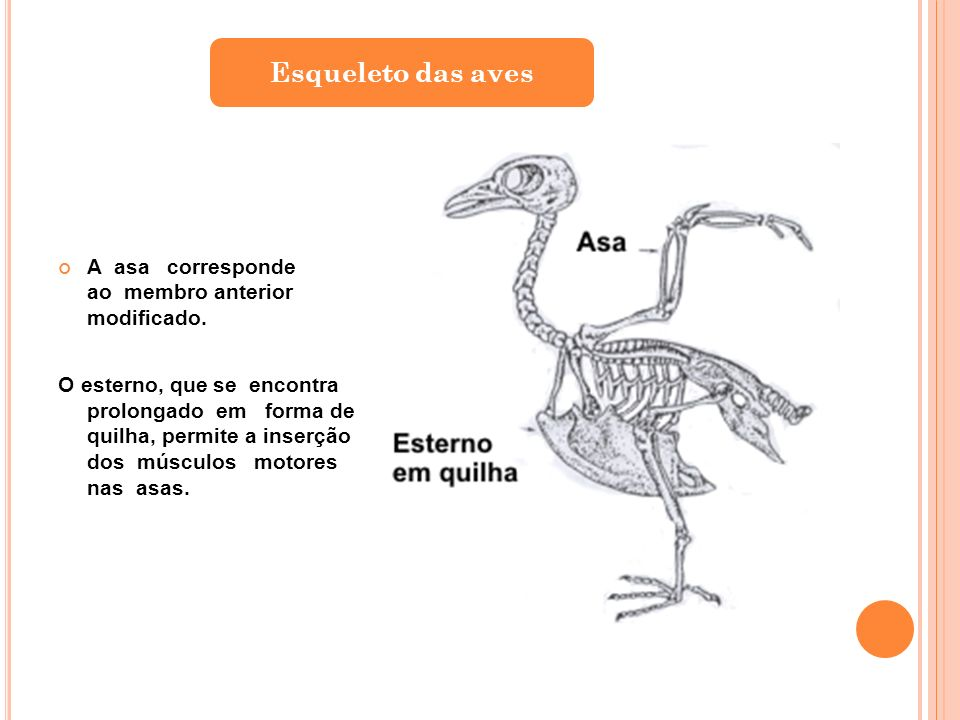 Esqueleto das aves A asa corresponde ao membro anterior modificado.