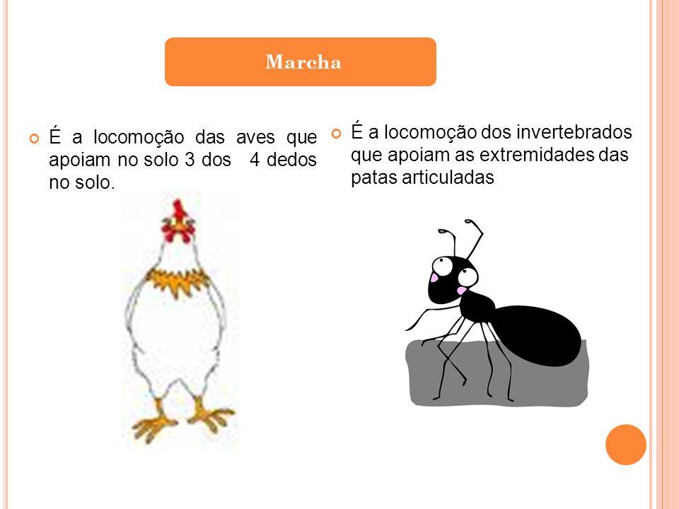 Marcha É a locomoção dos invertebrados que apoiam as extremidades das patas articuladas.