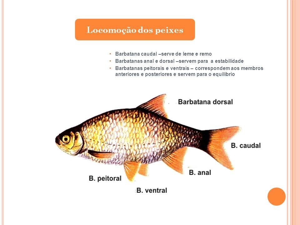 Locomoção dos peixes Barbatana caudal –serve de leme e remo